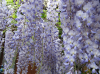 wisteria-sinensis.png